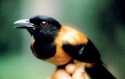 The pithouhi secretes a powerful neurotoxin that covers it's sleek feathers to help fight off parasites. It is the only bird that has evolved a way to make it. Its thought that they harnessed the ability to do this by a co-opting a chemical from certain beetles in their diet. It's the same poison produced by dart/arrow frogs.