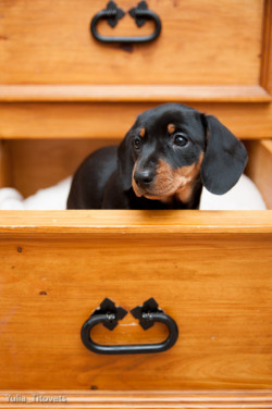 Dotty, Miniature Smooth-haired Dachshund, 8 weeks old by Yulia Titovets on fourlittlepaws.com Please don't remove source. Thank you :)