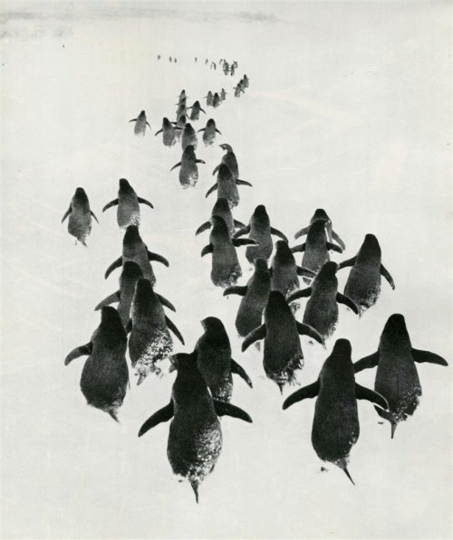 "© Gennady Koposov, ca. 1967, Penguins, Original vintage photogravure ""Hurry up, burnedshoes.com will launch in a few hours!!!"" This is for Eliot.  [  you can also find me here:  Website (NEW)  