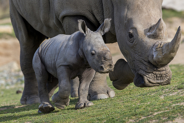 "sdzsafaripark:  Meet the newest addition to our southern white rhino rhino herd, Kayode! Kayode means ""he brings joy,"" and he certainly does."
