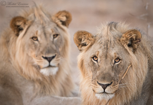 magicalnaturetour:  Two Young Kings by MorkelErasmus