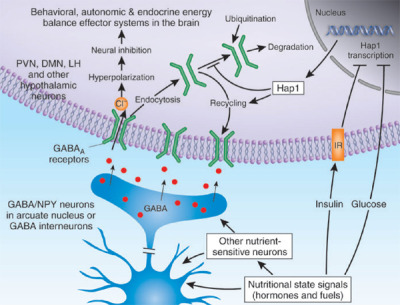 "neurolove:  GABA! The next neurotransmitter I will talk about is GABA (gamma-aminobutyric acid). GABA is the primary inhibitory neurotransmitter in the brain, but depending on the receptor type, it can be inhibitory or excitatory. We mainly talk about it's actions as an inhibitory neurotransmitter, but it's important to note that it can act as an excitatory one as well, depending on the receptor that it acts upon. There are two main receptor subtypes for GABA, which are known as GABA-A and GABA-B receptors.  GABA-A receptors are ligand-gated chloride channels.  Hopefully, without further explanation, from my past entries, this makes sense.  If you need a refresher, this means that when GABA interacts with these GABA-A receptors, they undergo a conformational change that opens their ""pore"" to allow chloride (Cl-) ions to flow through.  Since Cl- is negative, it can hyperpolarize the cell (make it more negative) and make it less likely to fire, in the simplest explanation.  GABA-B receptors are more complex, as they are those G-protein coupled receptors.  Downstream effects can be to open Cl- channels or K+ channels (since there is more potassium inside the cell, K+ might flow out or even if it does not move, shunt an excitatory signal if it arrives while the channels are open), amongst other things. Inhibitory actions can be very complex on their own and really help to fine-tune the rest of the brain's activity.  The image above shows a presynaptic cell below and a postsynaptic neuron above it, as GABA is involved in the hypothalamus/feeding behavior- found in this paper (Richards & Berthoud, 2006)."