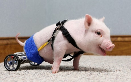 A month-old piglet who was born without the use of his back legs has been given a new wheelchair for Valentine's Day. Florida piglet Chris P Bacon made headlines last month when his owner and vet, Len Lucero, uploaded a video of him on YouTube. He had made Chris a wheelchair from K'nex toys and, having outgrown his last chair, he has now got a new mode of transport. Eventually the piglet will use a dog wheelchair.