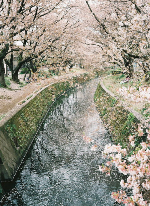fuckyeahjapanandkorea:  Tunnel of cherry blossoms (by suke36)