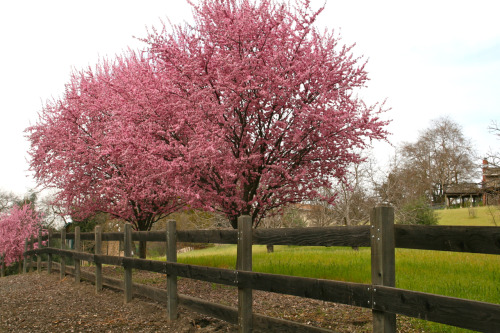 BLOSSOMSDanville, CA©Laura Quick I went to the Danville Cemetery today and these glorious trees were in bloom across the street. Driving up from Los Angeles, all of the fruit trees along the 375 miles of Interstate 5 are in bloom. It is gorgeous this time of year. There are times that I love living in California. In other news, it's 85 degrees today in Los Angeles.