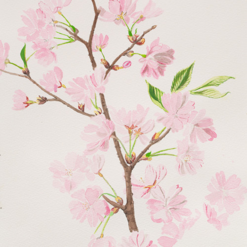 Study of a Sakura branch (detail) Watercolor on Cotton Paper 185gr, 30 x 40 cm Javier Marchán, 2010 Copyrighted image, all rights reserved