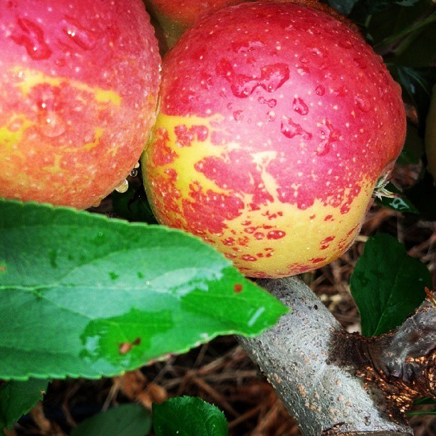 #fallinnewengland #fall #apples #apple #applepicking