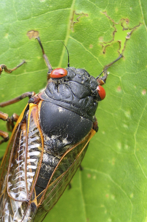 "Invasion of the 17-year cicada brood What's red-eyed, over-sized, loud, horrifying and 17 years in the making? The soon-to-be-emerging cicada brood, described by one expert as a ""huge tsunami."" The bugs, which have been hibernating for nearly two decades before emerging, molting, mating and passing away in droves, are a swarming terror to some, and for others, they're an under-appreciated delicacy. But rest assured, West Coast readers, the imminent cicada invasion is entirely an East Coast problem. And for anyone skeptical as to how creepy cicadas can be, click here at your own peril. Photo: Chris Simon / University of Connecticut, Associated Press"