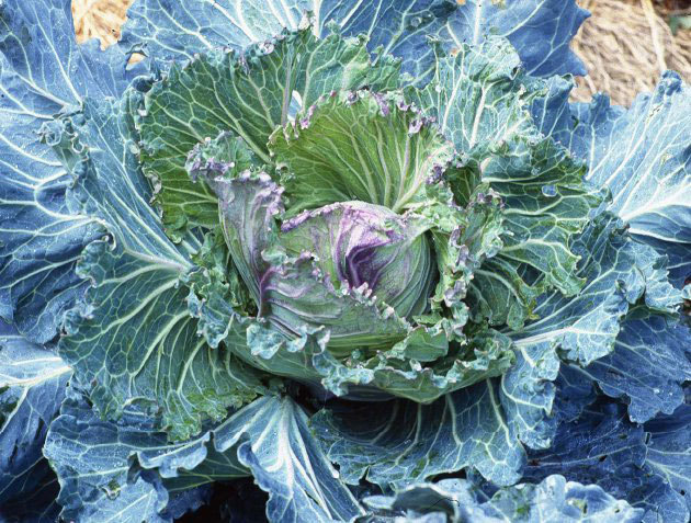 natureisthegreatestartist:  The January King cabbage is truly regal. This King rules!