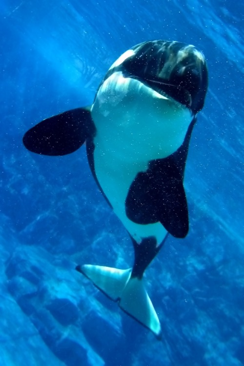 animalgazing:  Killer Whale Grin by ~annlo13