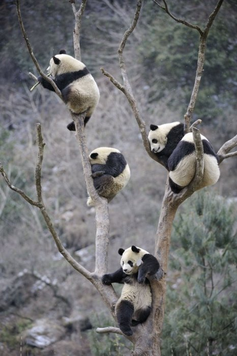 luanlegacy:  ericloveshugs:  i love pandas   straight just chillen