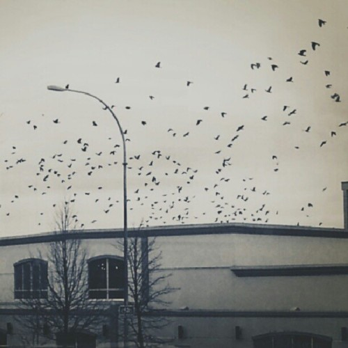 I'm scared. They're going towards me. #crows #birds #endoftheworld #victoria #saanich #canada #winter #photo
