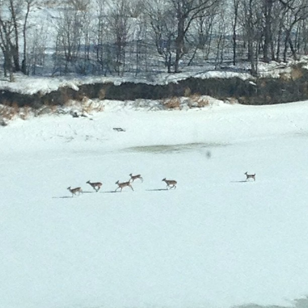 deer running along the river!