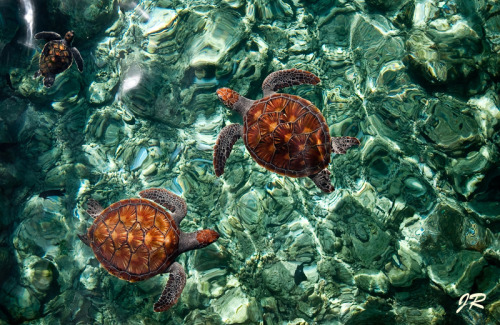 animalkingd0m:  Fragile Underwater World. Turtles. Maldives  by Jenny Rainbow