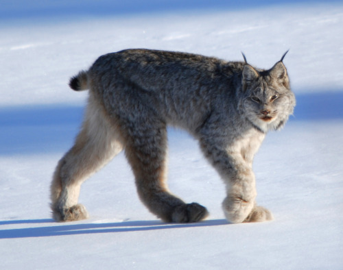 Another beautiful animal apart of the cat family the 'Lynx', breath taking species..