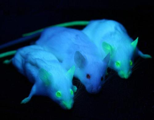 A normal mouse sits between two mice engineered to express green fluorescent protein.