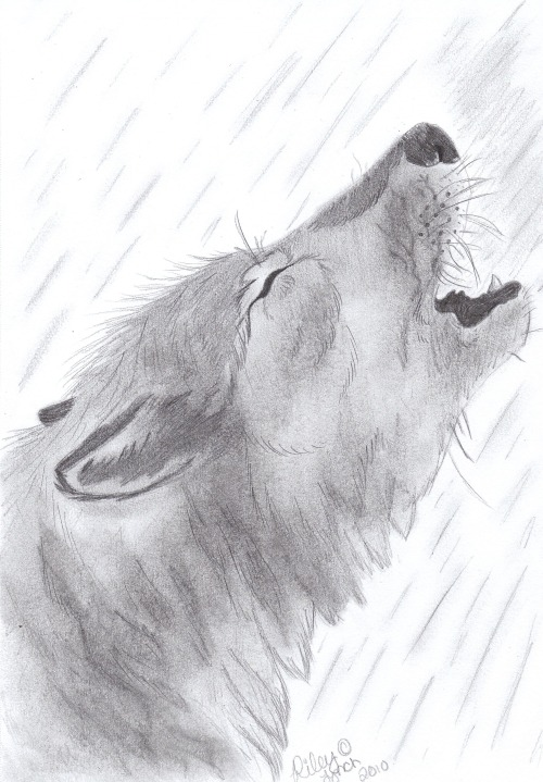 Howling wolf. Charcoals and graphite.