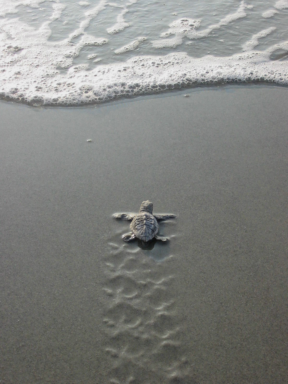 thefrogman:  Baby sea turtle leaving DeBordieu Beach. [debnews4u]