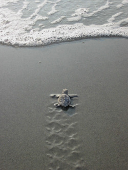 manhattanmidnights:  wittle turtle
