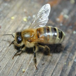 "scienceyoucanlove:  Pesticide Makers Seek Answers as Bee Losses Sting Agriculture** Monsanto Co is hosting a ""Bee Summit."" Bayer AG is breaking ground on a ""Bee Care Center."" And Sygenta AG is funding grants for research into the accelerating demise of honeybees in the United States, where the insects pollinate fruits and vegetables that make up roughly a quarter of the American diet. By Carey Gillam (Reuters) - Monsanto Co is hosting a ""Bee Summit."" Bayer AG is breaking ground on a ""Bee Care Center."" And Sygenta AG is funding grants for research into the accelerating demise of honeybees in the United States, where the insects pollinate fruits and vegetables that make up roughly a quarter of the American diet. The agrichemical companies are taking these initiatives at a time when their best-selling pesticides are under fire from environmental and food activists who say the chemicals are killing off millions of bees. The companies say their pesticides are not the problem, but critics say science shows the opposite. Die-offs of bee populations have accelerated over the last few years to a rate the U.S. government calls unsustainable. Honeybees pollinate plants that produce roughly 25 percent of the foods Americans consume, including apples, almonds, watermelons and beans, according to government reports. Scientists, consumer groups, beekeepers and others blame the devastating rate of bee deaths on the growing use of pesticides sold by agrichemical companies to boost yields of staple crops such as corn. Monsanto, Syngenta, Bayer and other agrichemical companies say other factors such as mites are killing the bees. ""This is a difficult, high stakes battle,"" said Peter Jenkins, a lawyer with the Center for Food Safety, which sued the U.S. Environmental Protection Agency (EPA) in March on behalf of a group of U.S. beekeepers and environmental and consumer groups over what they say is a lack of sound regulation of the pesticides in question. read more, picture from here **P.S. I am NO fan on Monsanto ;)"