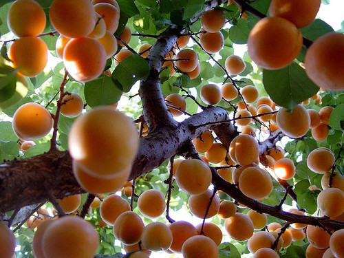 electriclady-land:   peach trees are so pretty and peach is my favorite word and I just love everything about peaches I think I want a lil peach tattoo