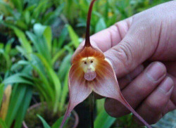 intoxicatedbymem0ries:  The monkey orchid, only found in high altitudes in Peru and Ecuador.