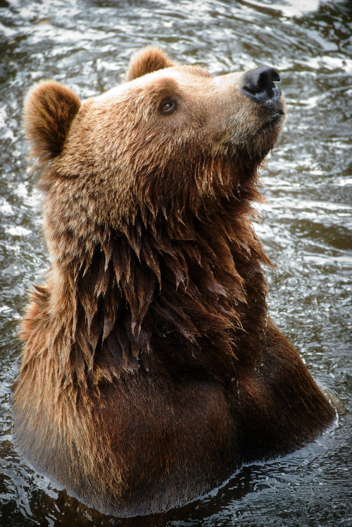 earth-song:  Bear by ~HeroinForMyHeroine