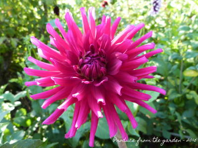 my-top-11-dahlias-this-year-promise-i-did-try-to