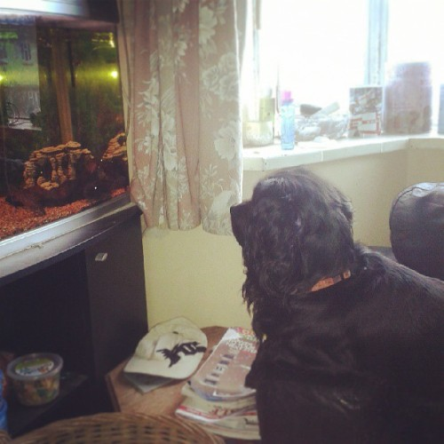 So now hes taken an interest in the fish… hes never paid any attention to the fish until today. Hes wining at the fish. #fish #dog  #weird