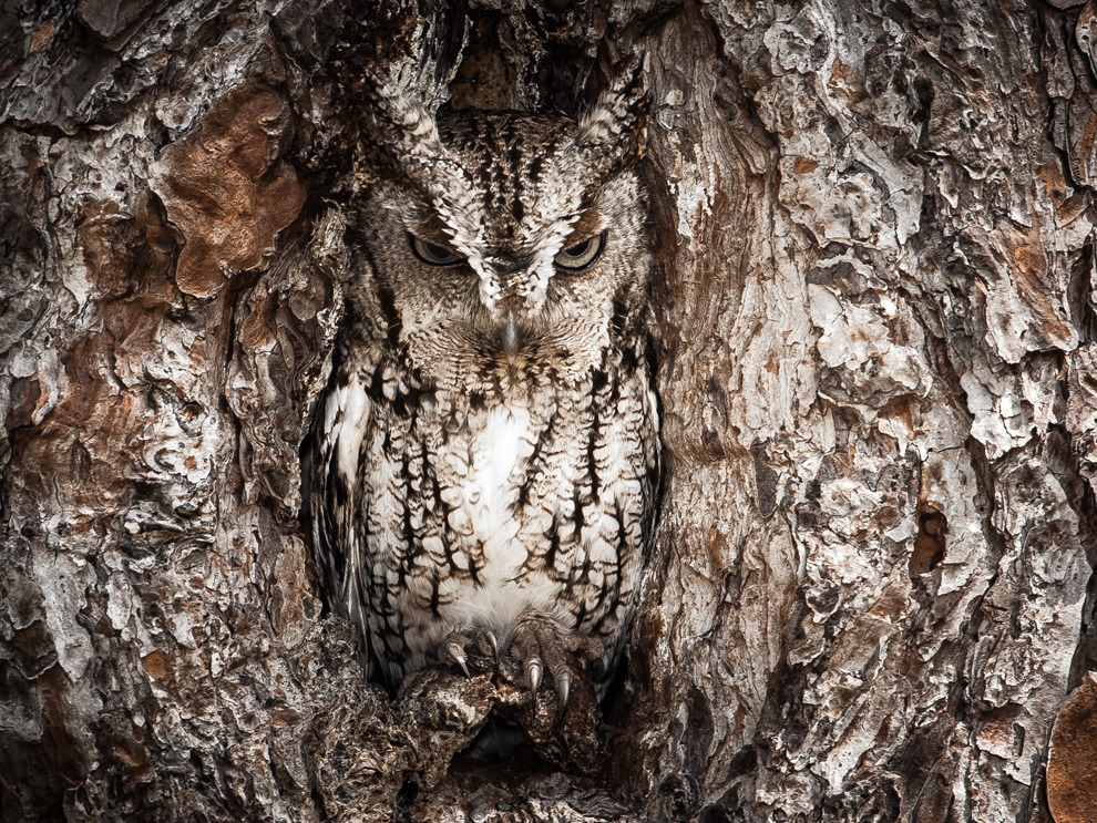 Eastern Screech Owl by Graham McGeorge