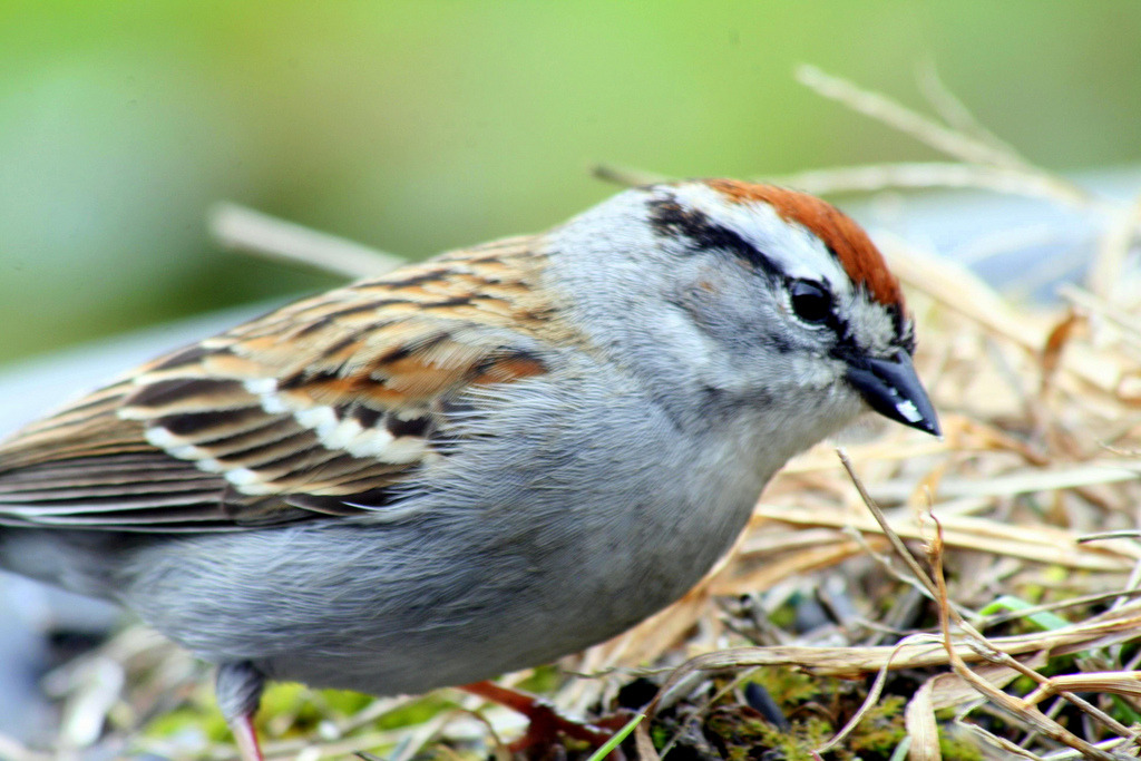 Chipping Sparrow / Dark Spinner