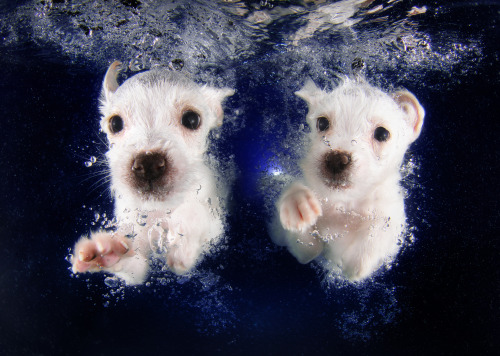 nprbooks:  Don't worry: No puppies were drowned in the making of Underwater Puppies. Photographer Seth Casteel says his shoots actually doubled as pool safety lessons:  So many people forget that our swimming pools, as much fun as they are, they are a danger, and they can be a danger to … our fur children. … I mean, a lot of these puppies I work with — for Underwater PuppiesI worked with over 1,500 — all it took was just a few times, putting them in the water and teaching them where the exit is, and they figured it out.  More photos (and Casteel's interview on Morning Edition) here! -Nicole