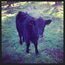 Greeted by a baby cow this morning 🐮 #moo #kookaburraridge