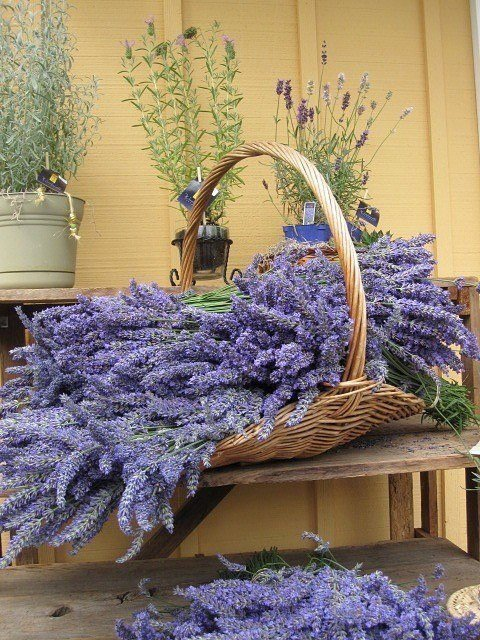 rosasenaturezas:     Lavender