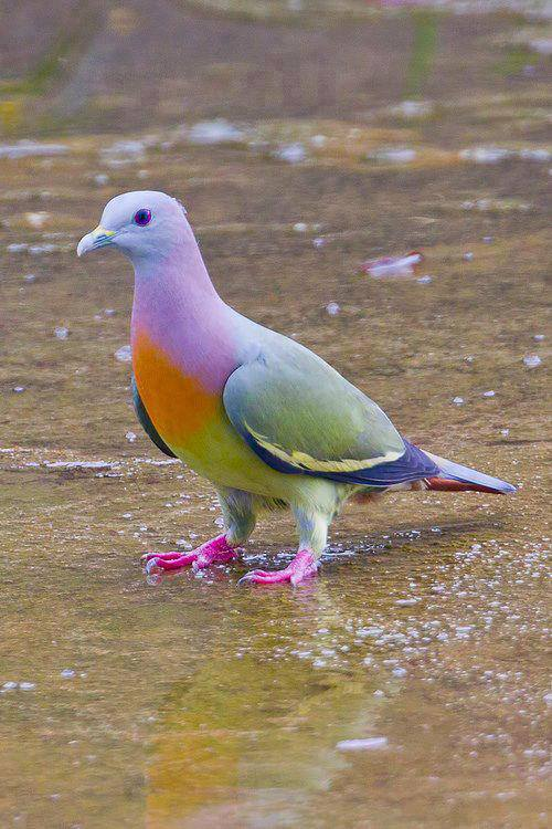 Rare PINK-NECKED GREEN PIGEON, also known as fruit dove.