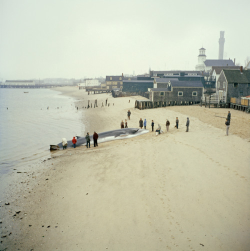 natgeofound:  Spectators gather around a dying finback whale in Provincetown, Massachusetts, August 1962.Photograph by Dean Conger, National Geographic