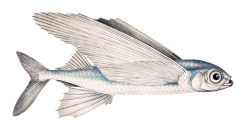 scientificillustration:  A common atlantic flying fish (Exocoetus volitans)