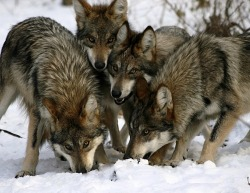 wolveswolves:  Mexican gray wolves (Canis lupus baileyi) by Rebecca Bose