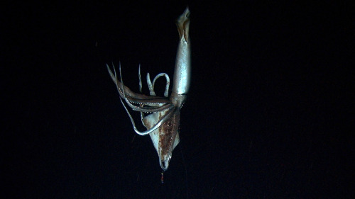 "smithsonianmag:  Elusive Giant Squid Captured on Film    A team of scientists have finally photographed the creature thought to have inspired the myth of the ""kraken."" The team went to depths greater than 3,000 feet and came face-to-face with the the giant squid. It is described as having eyes the size of dinner plates and razor sharp suckers. Footage of the massive predator will premiere on Discovery Channel's ""Monster Squid: The Giant Is Real"" on January 27 at 8 p.m. ET. - Read Discovery's press release for more information.    Photo by: AP Photo / NHK / NEP / Discovery Channel Ed note: Why the giant squid is the dragon of the deep."