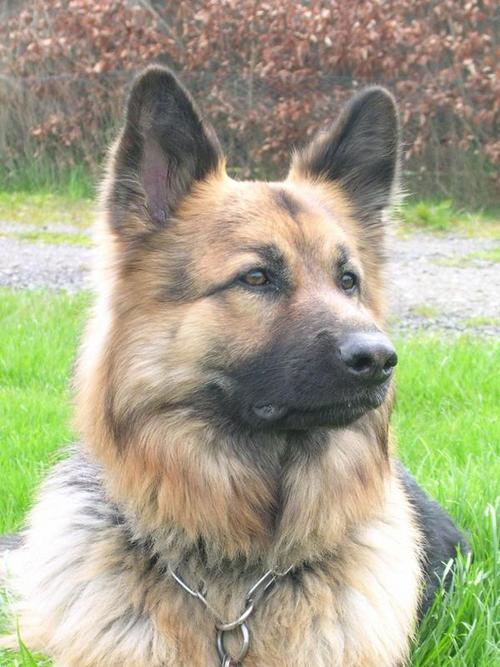handsomedogs:  My German Shepherd, Max. We lost him last month, the day after his 12th birthday. Now he's helping the daffodils grow :)