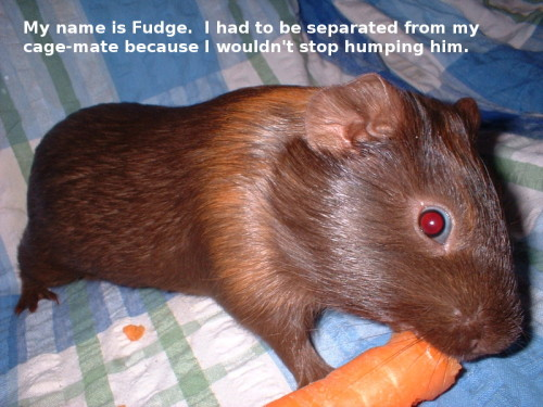 Text: My name is Fudge.  I had to be separated from my cage-mate because I wouldn't stop humping him.