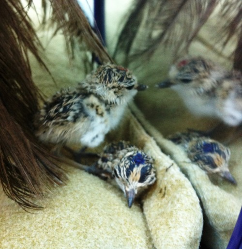 montereybayaquarium:  Our snowy plover eggs hatched behind the scenes! In case you were wondering, the dots on their heads are our way of telling the birds apart until they are old enough to get banded.  (Thanks to Aimee Greenebaum for the photo.) Learn more about how we're helping save snowy plovers.