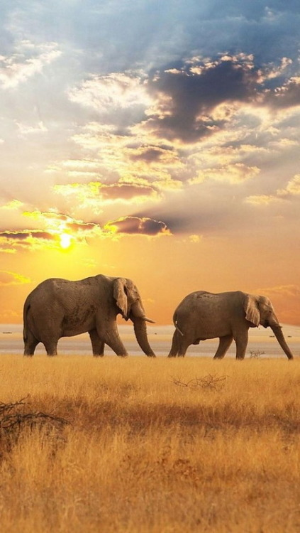 magicalnaturetour:  Africa Elephants Sunset by Susan62