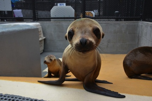 Malnourished sea lion pups have started arriving in northern California – by the vanload. It's a three-day, two-night trip for the weary mammalian travelers, with overnight stops in San Luis Obispo and Moss Landing. At the end of the road: The Marine Mammal Center in Sausalito, where the pups will be cared for and returned to health. [More SUPER CUTENESS over @ Wired Science]
