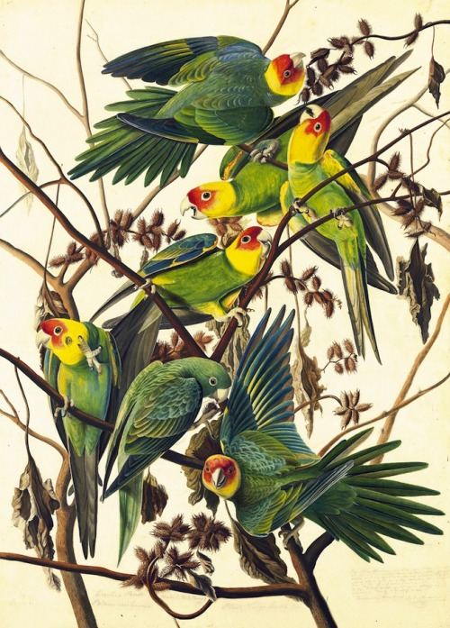 rhamphotheca:  bibi:  Carolina Parakeet (Conuropsis carolinensis) extinct - Study for Havell pl. 26, ca. 1825. Watercolor, graphite, pastel, gouache, and black ink with scraping and selective glazing on paper, laid on card; 29 3/4 x 21 1/4 in. Courtesy of the New York Historical Society. (via: See Audubon's Famous Birds Like Never Before | Wired Science | Wired.com)   The only native North American parrot, extinct in the early 20th century due to hunting and habitat competition from invasive species. :(