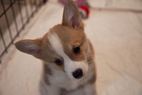 I am now an owner of a Welsh Corgi. Tumblr world, meet Cheza!!!!