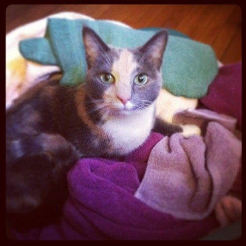 It is impossible for Alice to resist clean laundry. #cat #catsofinstagram