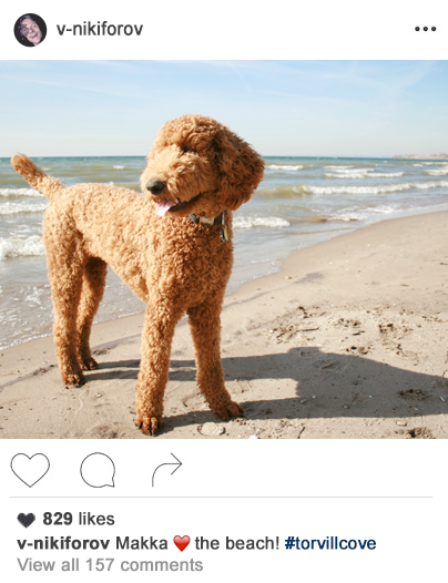 a poodle at the beach