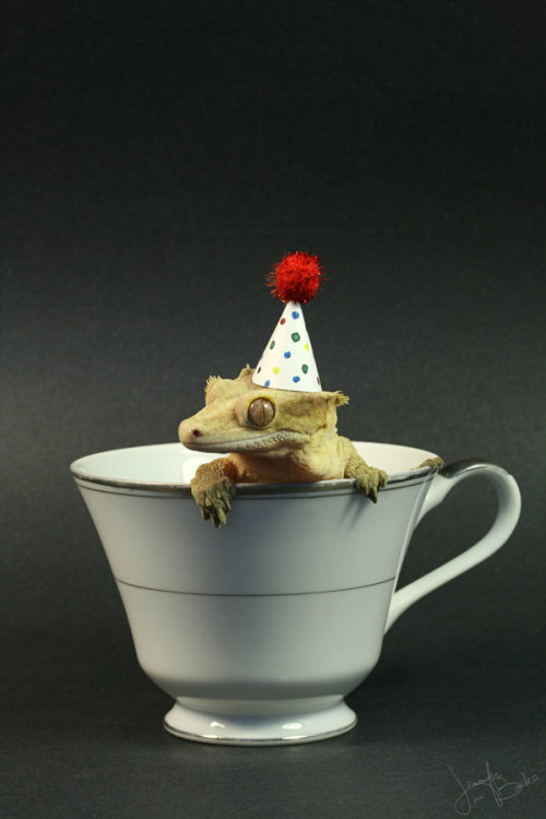 animals-animals-animals:  Crested Gecko (by CatharsisJB) So today is my birthday :) I am currently (I hope) being spoilt rotten and as such, nowhere near tumblr. Hope you have a great day and sorry the queue is a little light today! :)