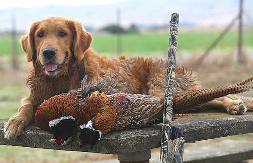 Nice dog and pheasents